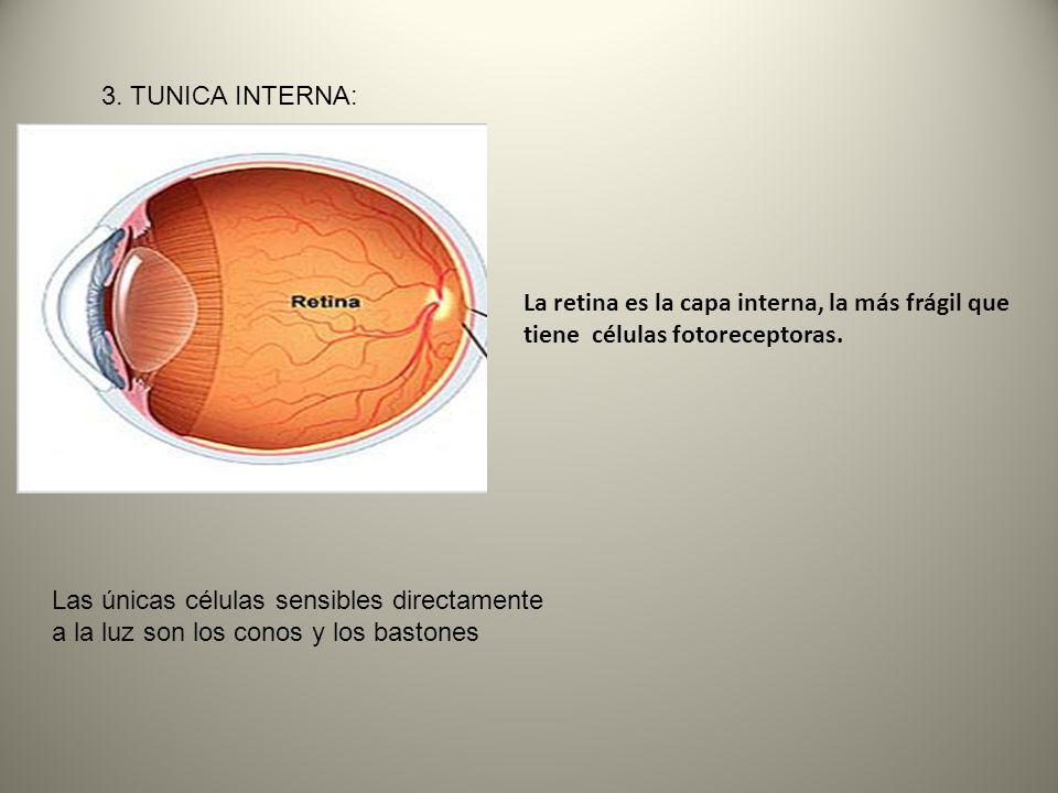 3. TUNICA INTERNA: La retina es la capa interna, la más frágil que tiene células fotoreceptoras.