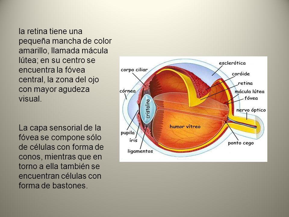 la retina tiene una pequeña mancha de color amarillo, llamada mácula lútea; en su centro se encuentra la fóvea central, la zona del ojo con mayor agudeza visual.