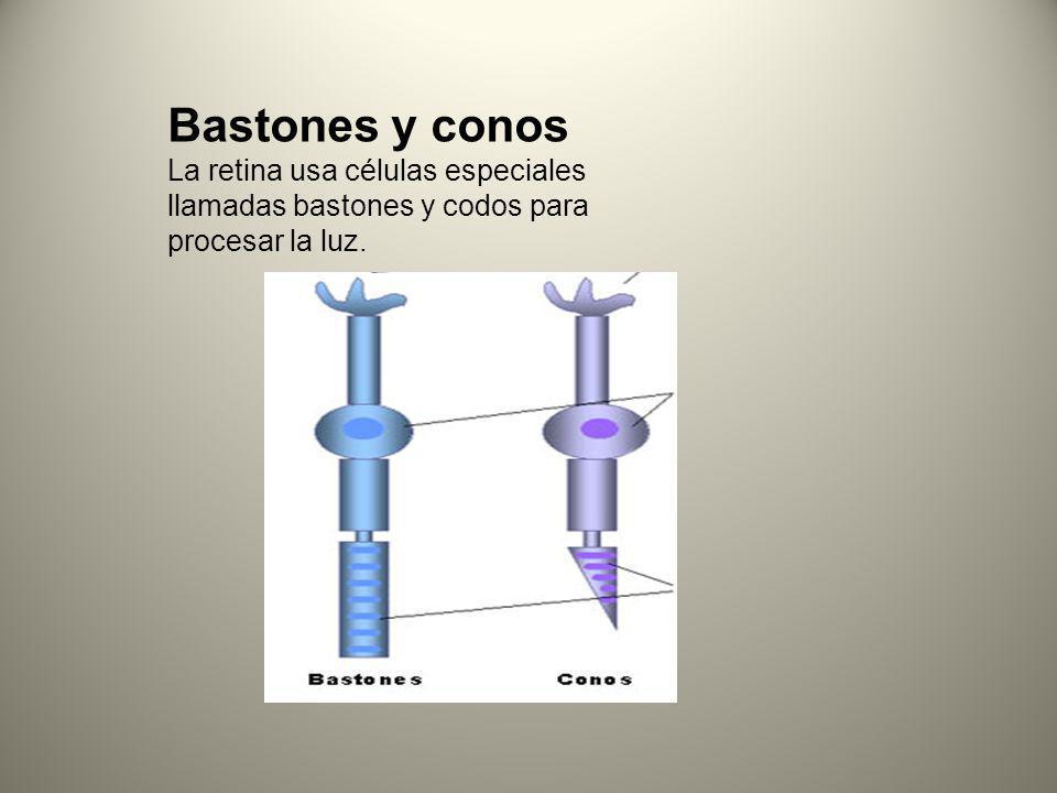 Bastones y conos La retina usa células especiales llamadas bastones y codos para procesar la luz.