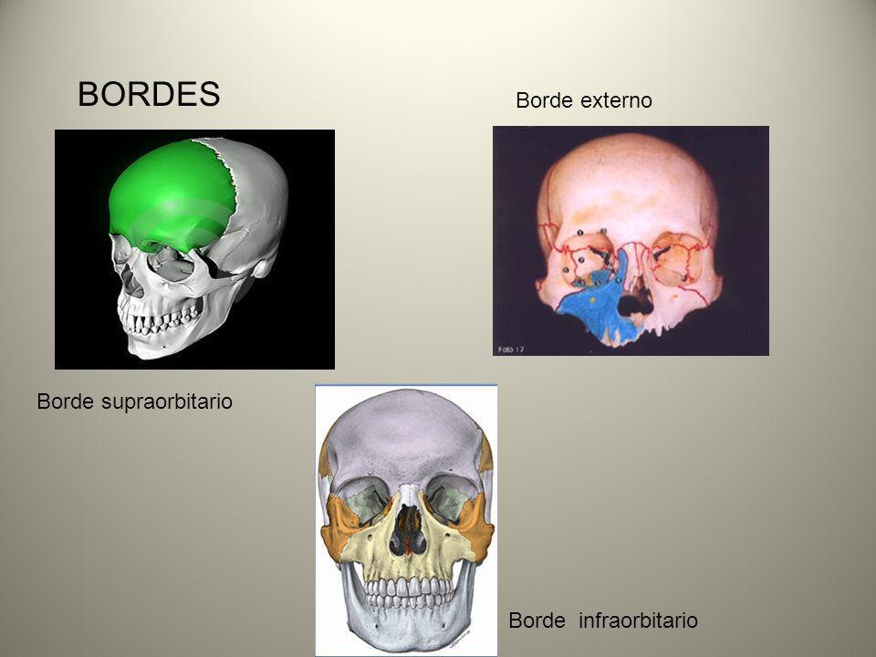 BORDES Borde externo Borde supraorbitario Borde infraorbitario