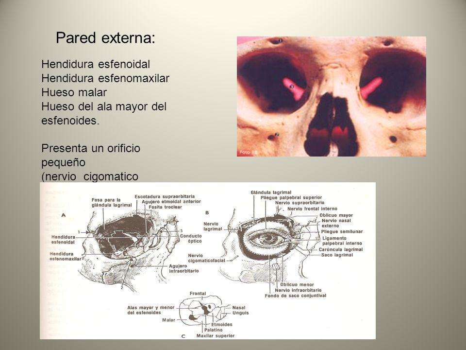 Pared externa: Hendidura esfenoidal Hendidura esfenomaxilar