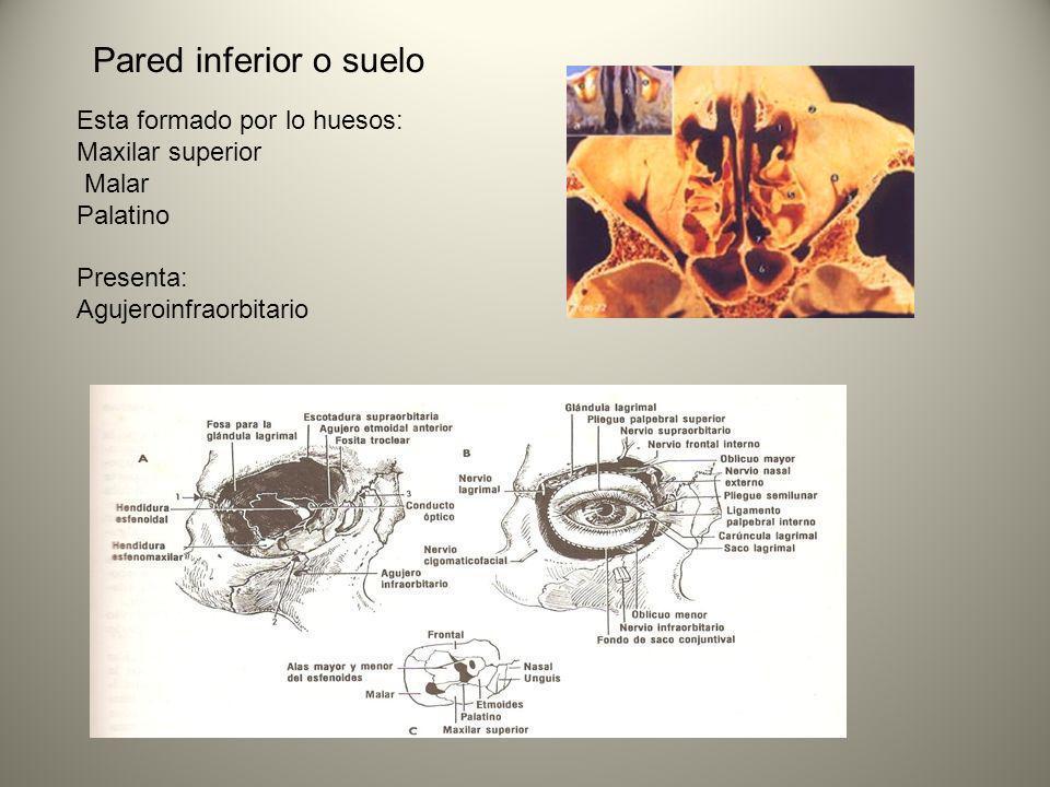 Pared inferior o suelo Esta formado por lo huesos: Maxilar superior