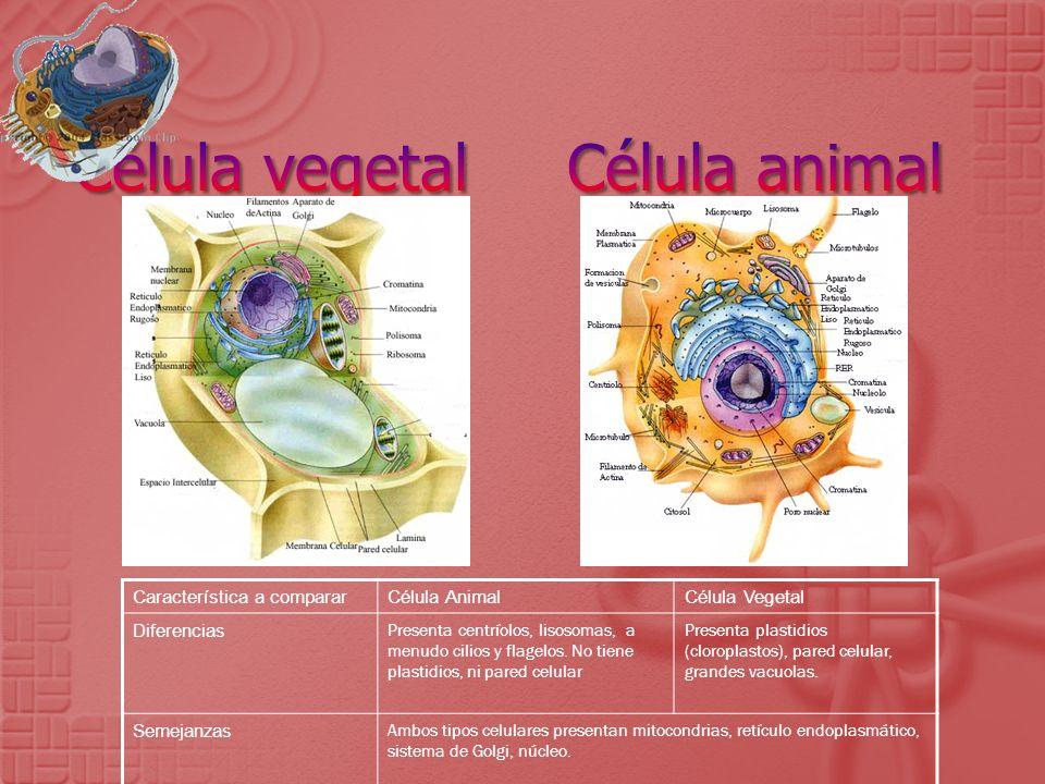 Célula vegetal Célula animal
