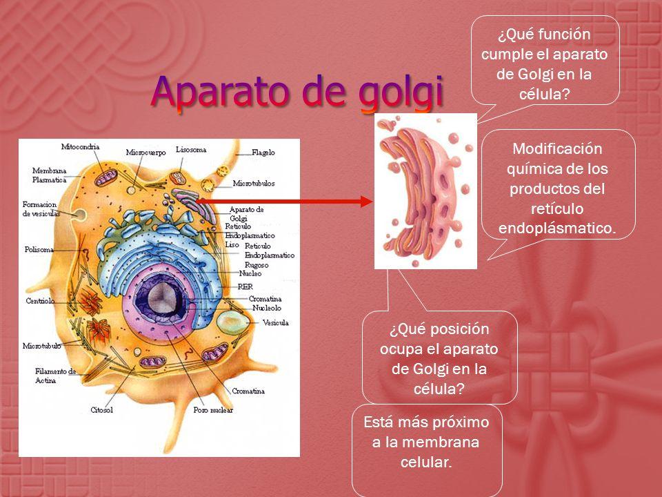 Aparato de golgi ¿Qué función cumple el aparato de Golgi en la célula