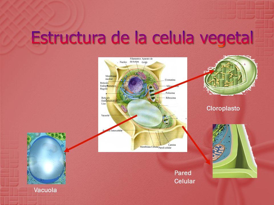 Estructura de la celula vegetal