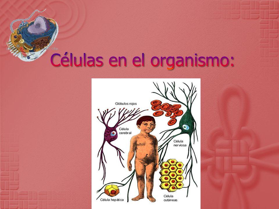 Células en el organismo: