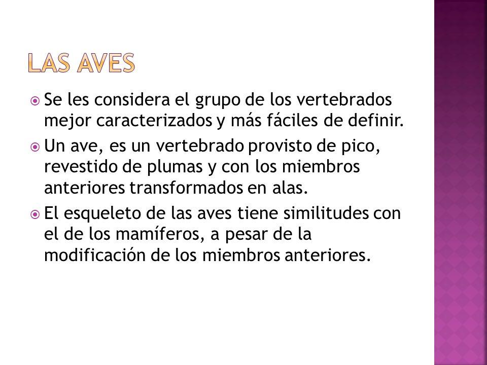 LAS AVES Se les considera el grupo de los vertebrados mejor caracterizados y más fáciles de definir.