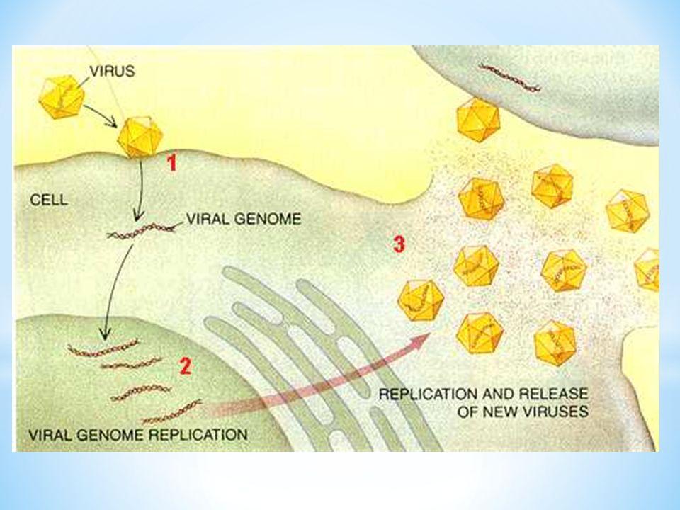 Este virus tiene el genoma (material genético) más pequeño de todos los virus animales conocidos. El virus de la hepatitis D necesita una partícula del virus de la hepatitis B—el recubrimiento externo del virus de la hepatitis B llamado antígeno de superficie—para sintetizar su propia proteína externa y poder encapsular su núcleo genético. El virus de la hepatitis D todavía se puede multiplicar con éxito en personas cuya concentración de antígeno de superficie ha bajado a