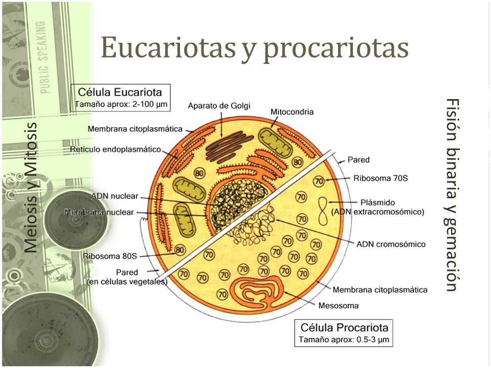 Eucariotas y procariotas