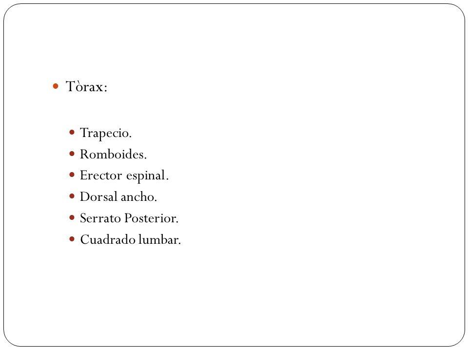 Tòrax: Trapecio. Romboides. Erector espinal. Dorsal ancho.