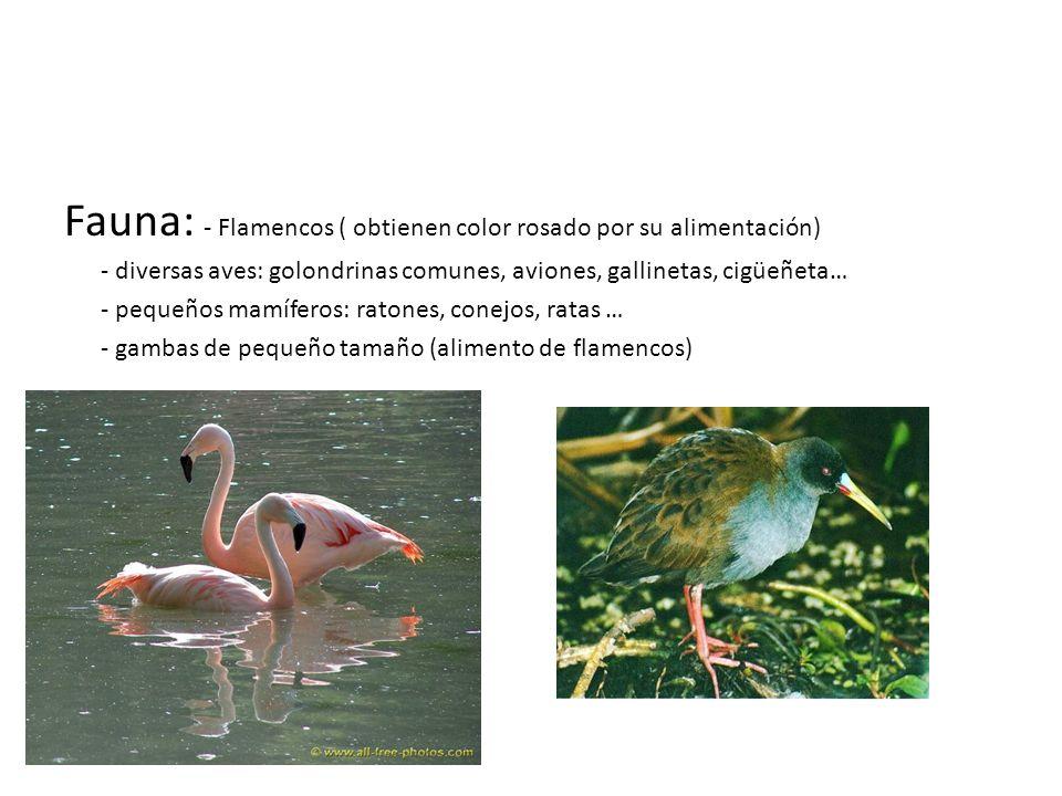 Fauna: - Flamencos ( obtienen color rosado por su alimentación)