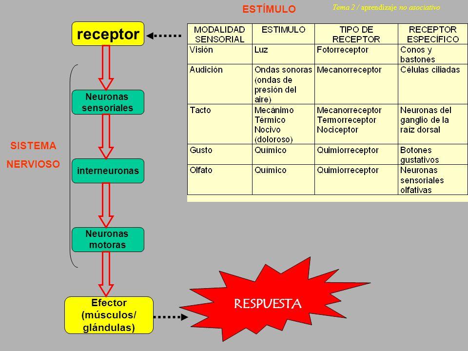 receptor RESPUESTA ESTÍMULO SISTEMA NERVIOSO Efector (músculos/