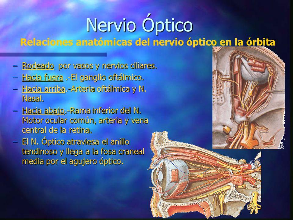 Nervio Óptico Relaciones anatómicas del nervio óptico en la órbita
