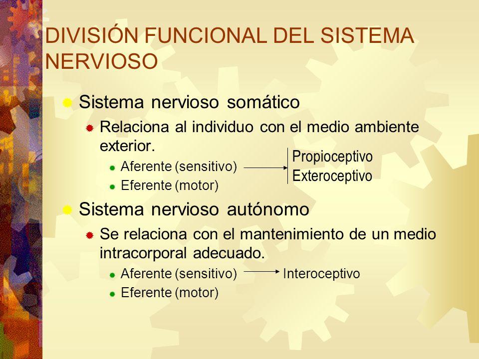 DIVISIÓN FUNCIONAL DEL SISTEMA NERVIOSO
