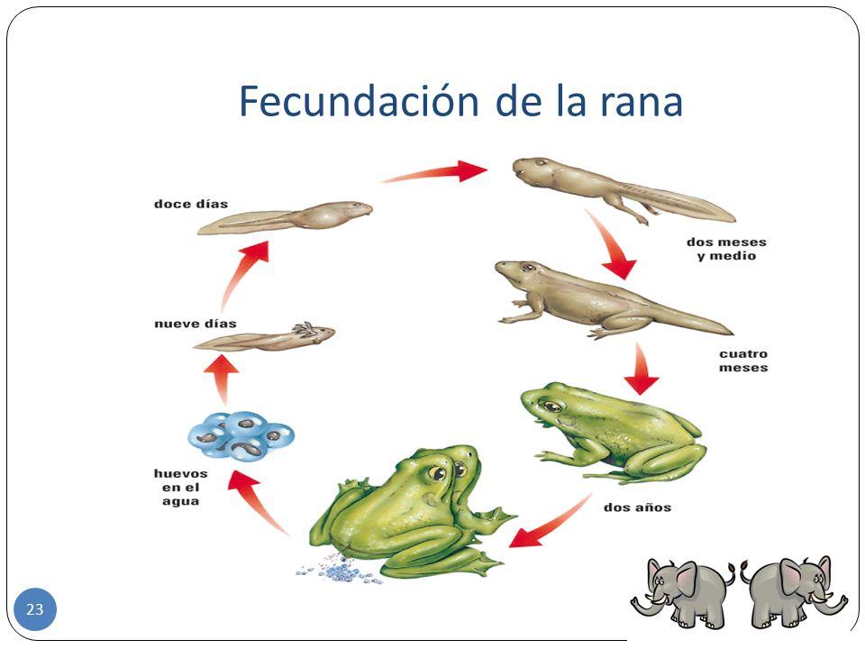 Fecundación de la rana
