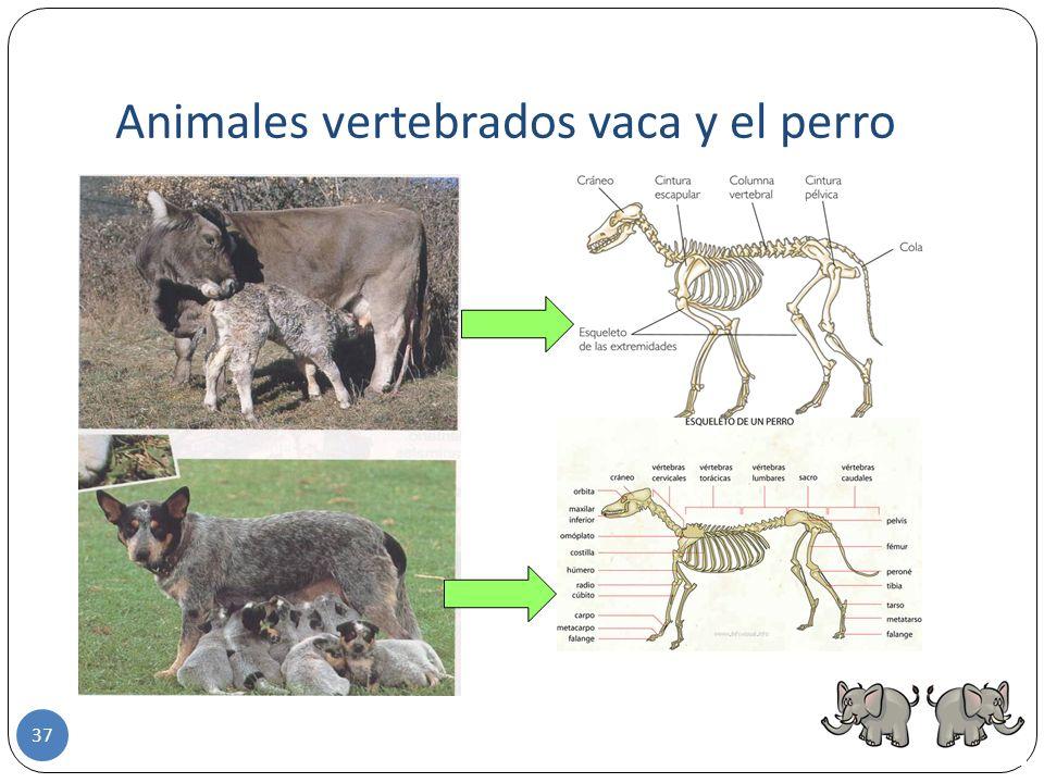 Animales vertebrados vaca y el perro