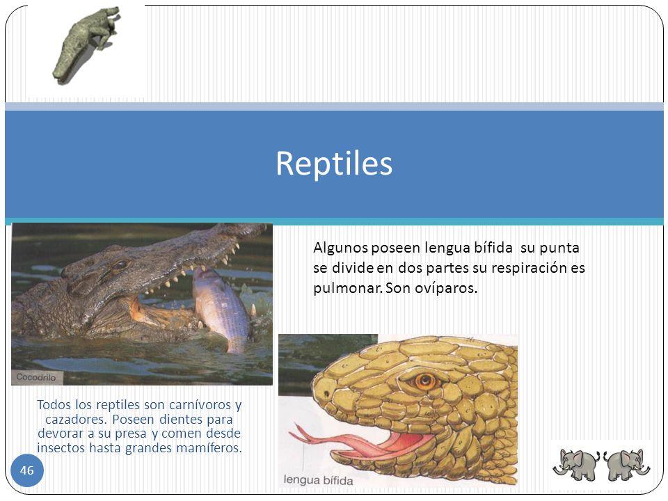 Reptiles Algunos poseen lengua bífida su punta se divide en dos partes su respiración es pulmonar. Son ovíparos.