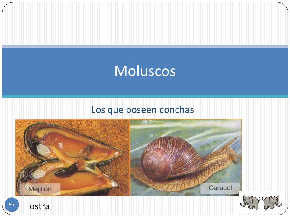 Moluscos Los que poseen conchas ostra