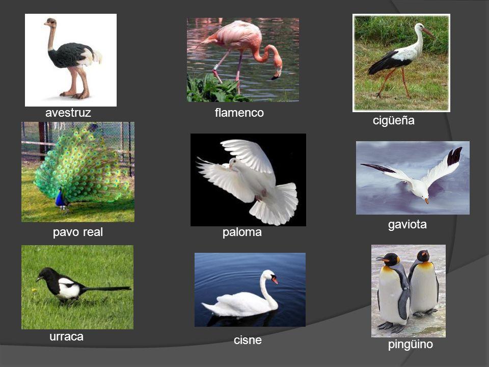 avestruz flamenco cigüeña gaviota pavo real paloma urraca cisne pingüino