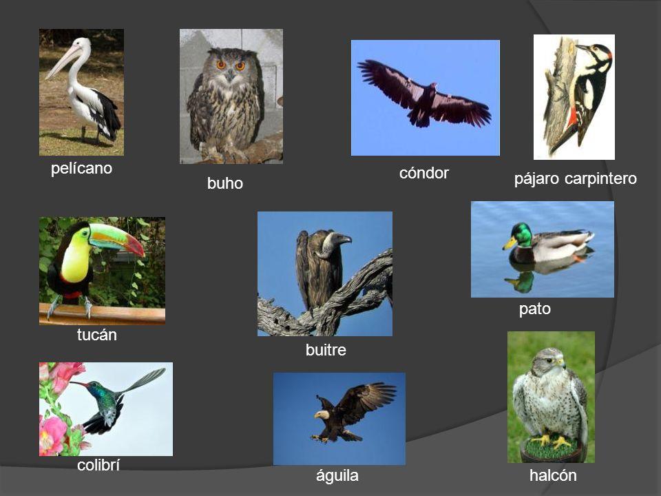 pelícano cóndor pájaro carpintero buho pato tucán buitre colibrí águila halcón