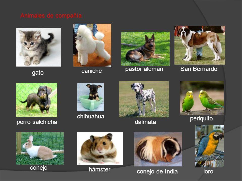 Animales de compañía pastor alemán. San Bernardo. caniche. gato. chihuahua. periquito. perro salchicha.