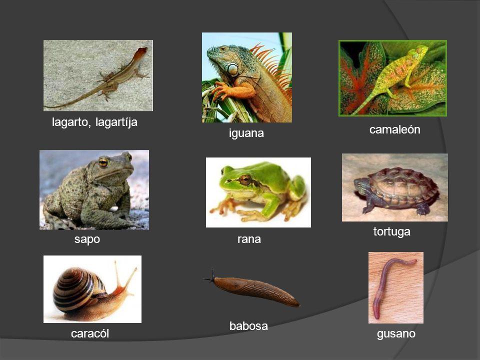 lagarto, lagartíja camaleón iguana tortuga sapo rana babosa caracól gusano