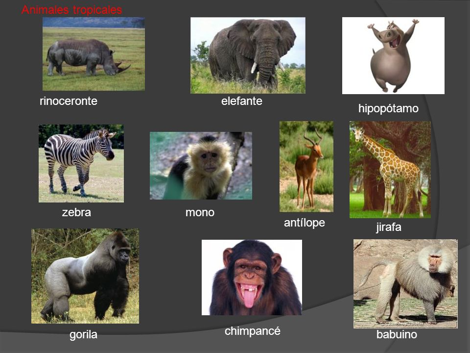 Animales tropicales rinoceronte. elefante. hipopótamo. zebra. mono. antílope. jirafa. chimpancé.
