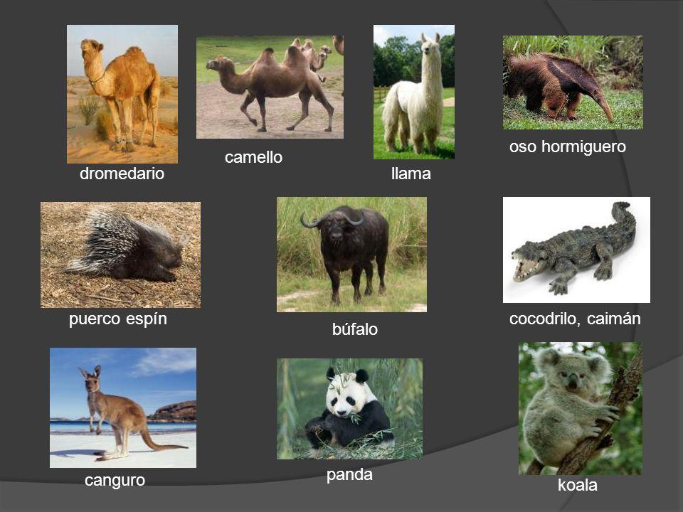 oso hormiguero camello dromedario llama puerco espín cocodrilo, caimán búfalo panda canguro koala