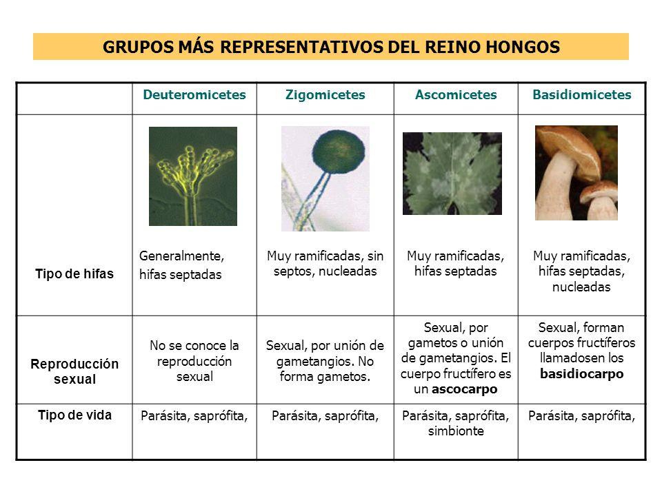 GRUPOS MÁS REPRESENTATIVOS DEL REINO HONGOS