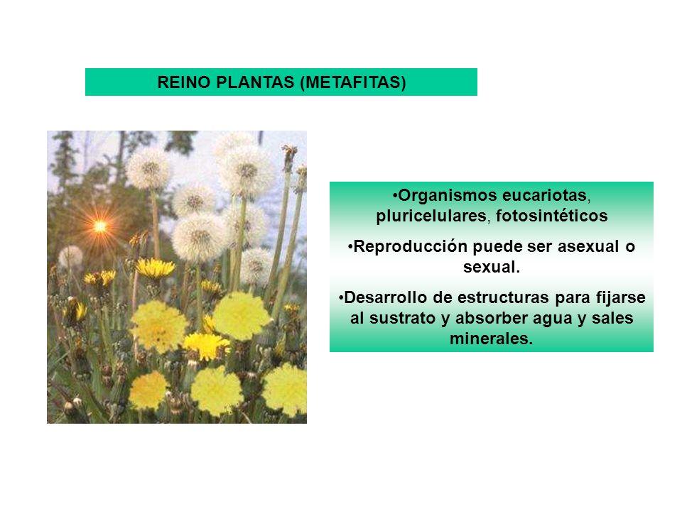 REINO PLANTAS (METAFITAS) Reproducción puede ser asexual o sexual.