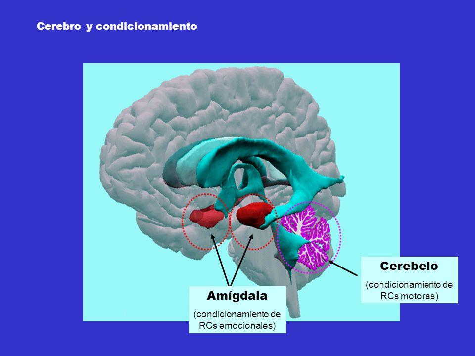 Cerebelo Amígdala Cerebro y condicionamiento