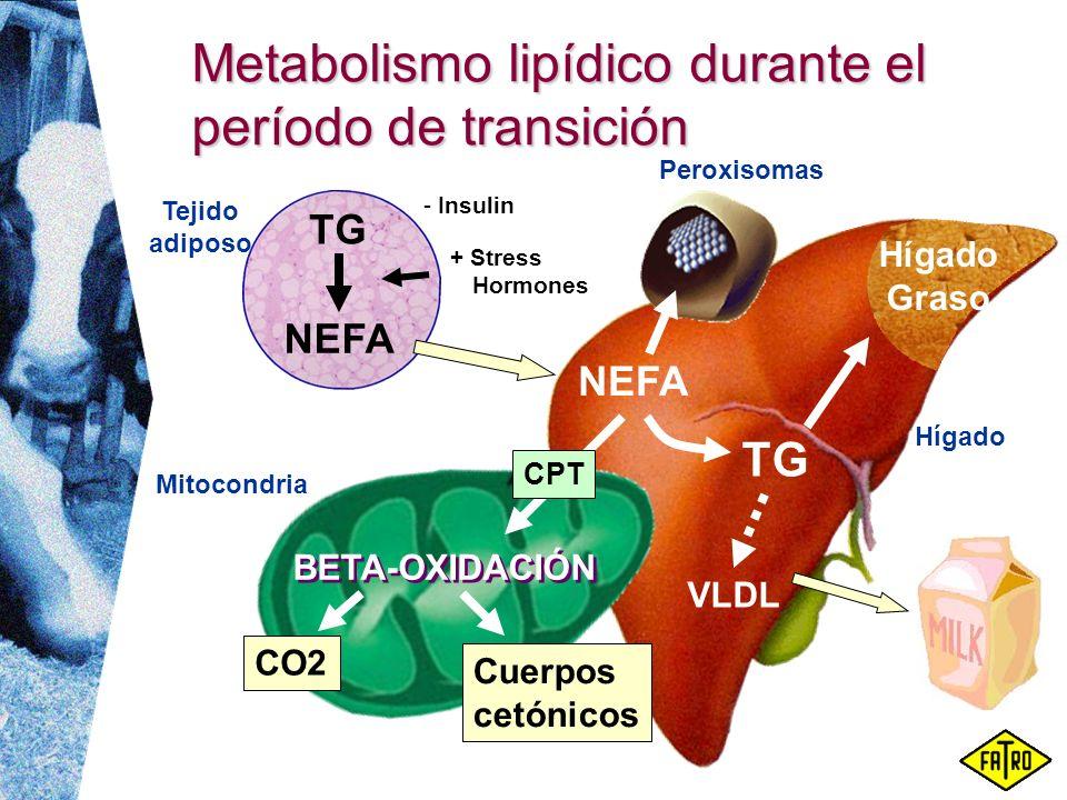 Metabolismo lipídico durante el período de transición