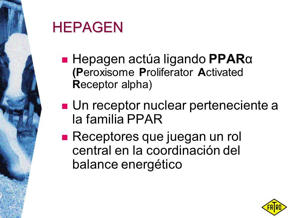 HEPAGEN Hepagen actúa ligando PPARα (Peroxisome Proliferator Activated Receptor alpha) Un receptor nuclear perteneciente a la familia PPAR.