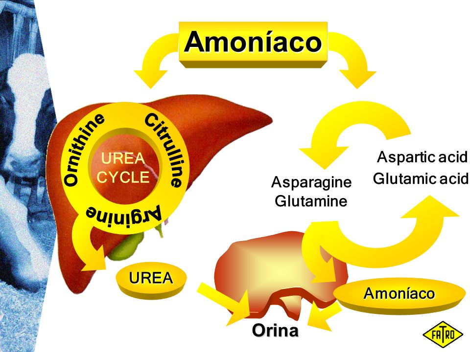 Amoníaco Orina UREA CYCLE Aspartic acid Glutamic acid Asparagine