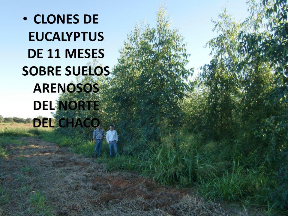 CLONES DE EUCALYPTUS DE 11 MESES SOBRE SUELOS ARENOSOS DEL NORTE DEL CHACO