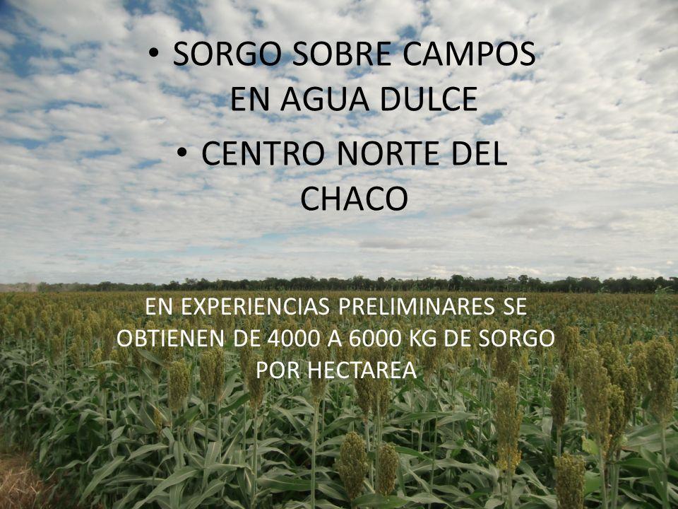 SORGO SOBRE CAMPOS EN AGUA DULCE