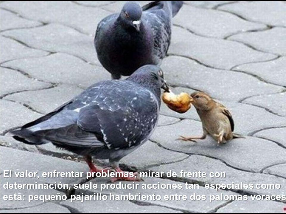 El valor, enfrentar problemas, mirar de frente con determinación, suele producir acciones tan especiales como esta: pequeño pajarillo hambriento entre dos palomas voraces.