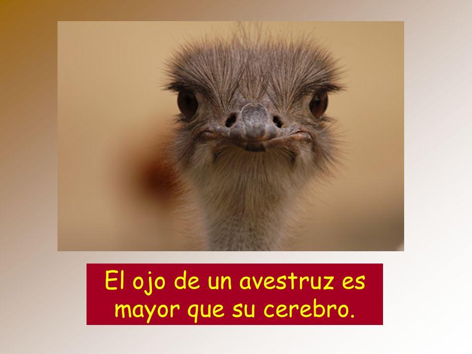 El ojo de un avestruz es mayor que su cerebro.