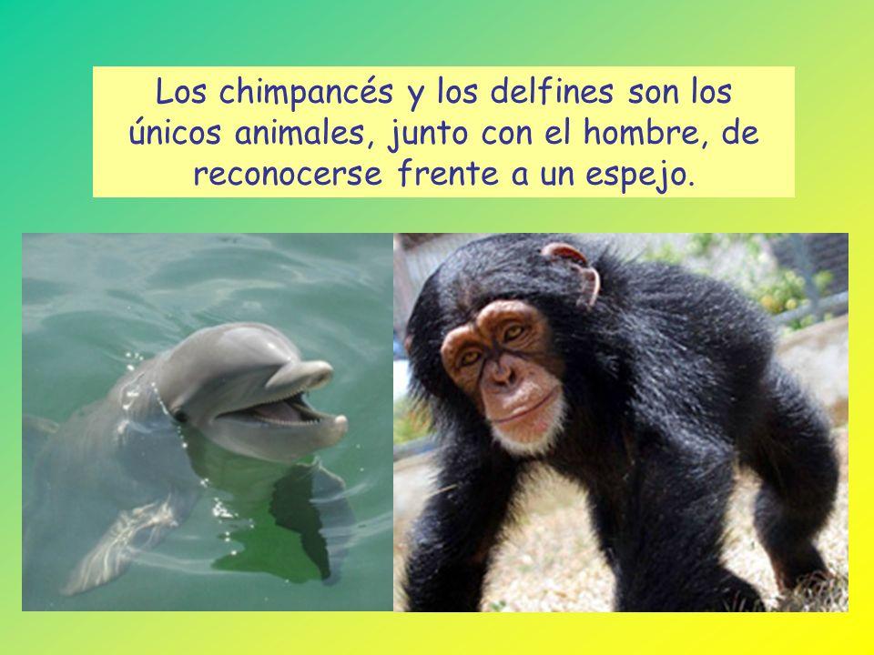 Los chimpancés y los delfines son los únicos animales, junto con el hombre, de reconocerse frente a un espejo.