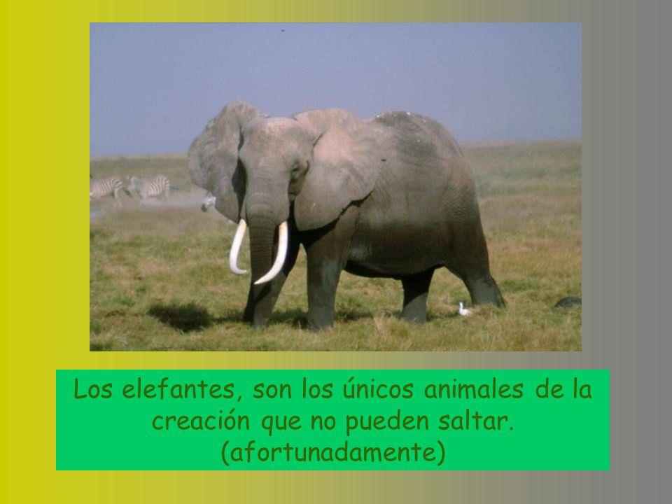 Los elefantes, son los únicos animales de la creación que no pueden saltar. (afortunadamente)