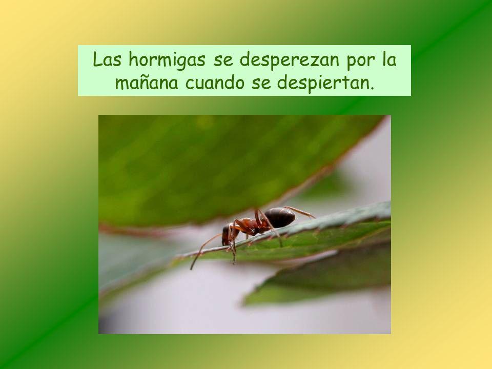 Las hormigas se desperezan por la mañana cuando se despiertan.
