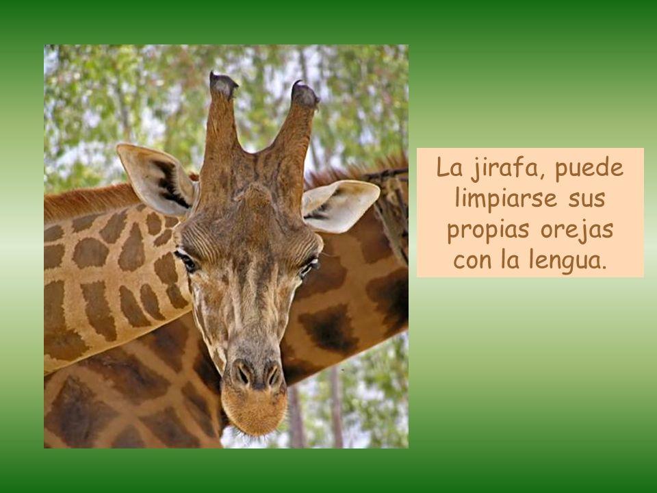 La jirafa, puede limpiarse sus propias orejas con la lengua.