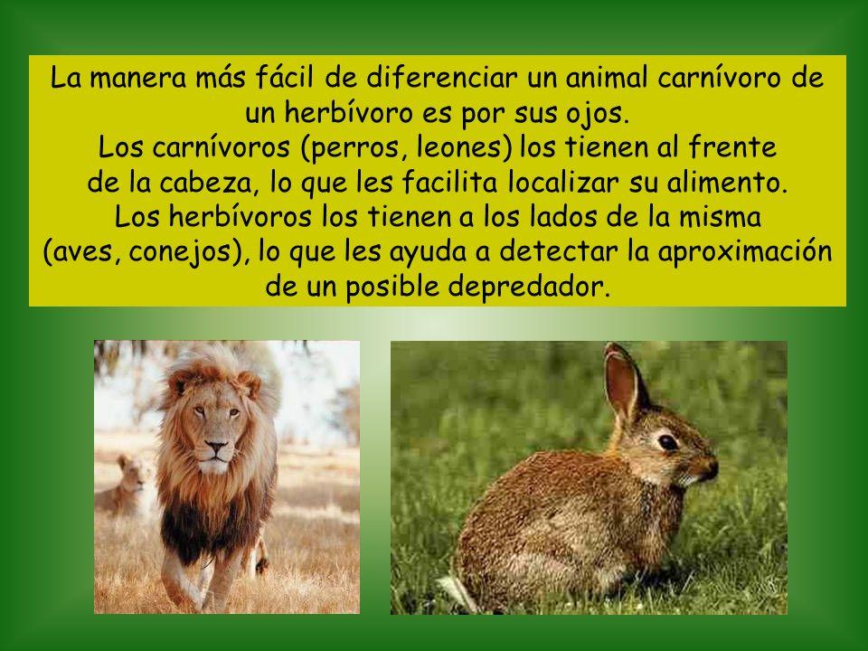 Los carnívoros (perros, leones) los tienen al frente