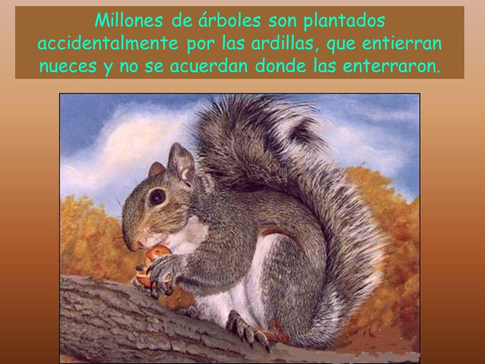 Millones de árboles son plantados accidentalmente por las ardillas, que entierran nueces y no se acuerdan donde las enterraron.