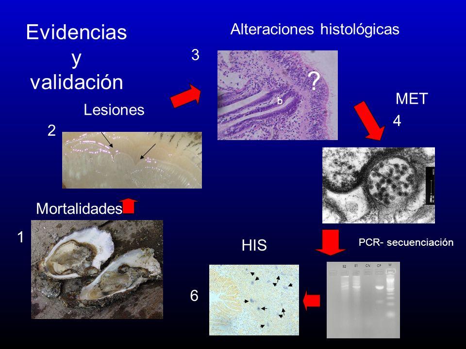 Evidencias y validación Alteraciones histológicas 3 MET Lesiones 4 2