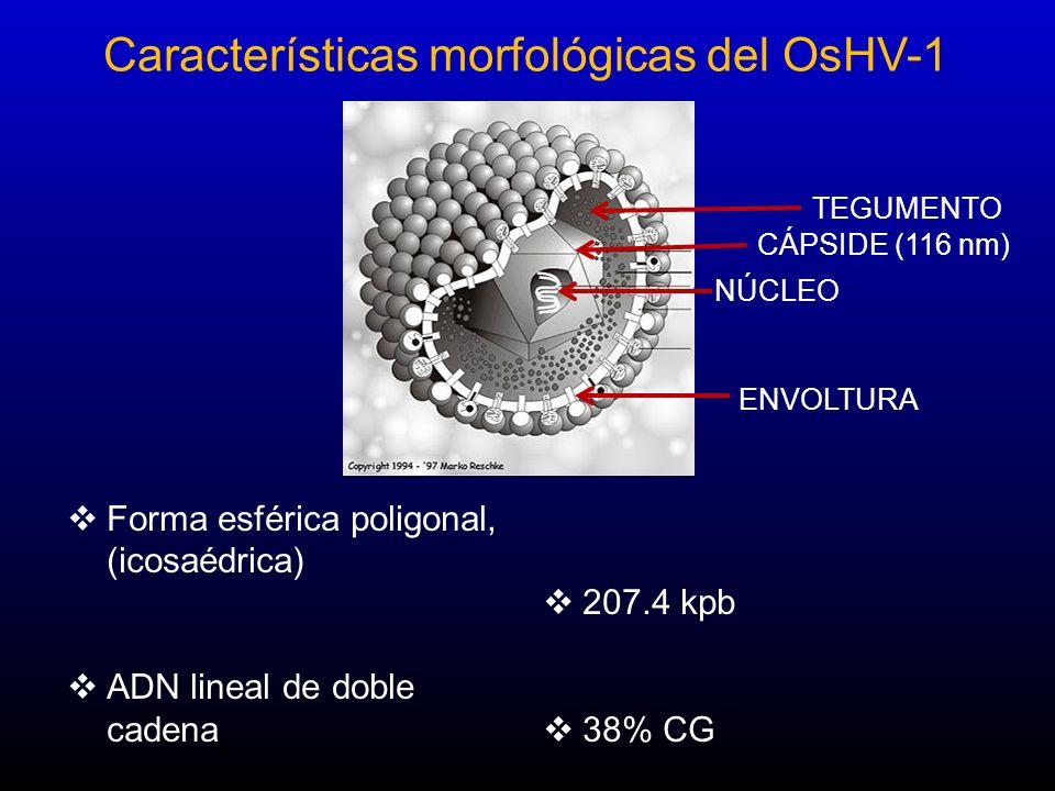 Características morfológicas del OsHV-1