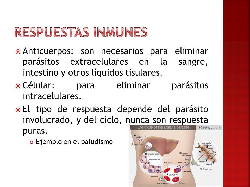 Respuestas inmunes Anticuerpos: son necesarios para eliminar parásitos extracelulares en la sangre, intestino y otros líquidos tisulares.