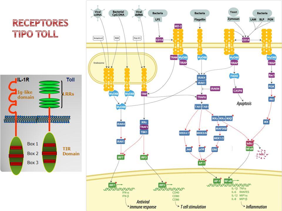 Receptores tipo Toll