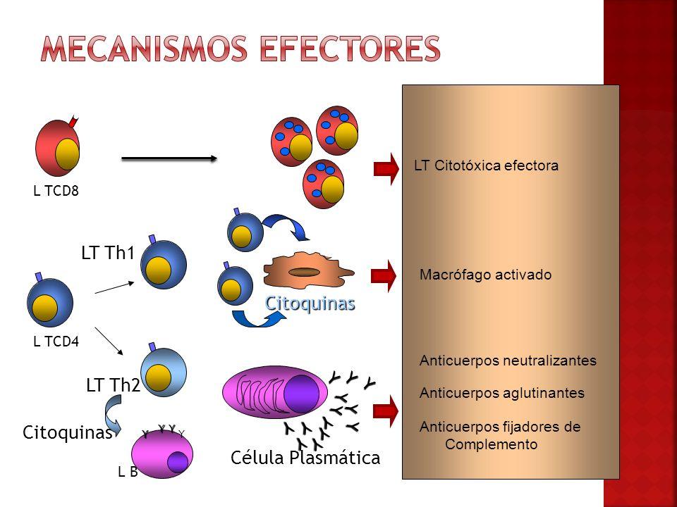 Mecanismos efectores LT Th1 Citoquinas LT Th2 Citoquinas