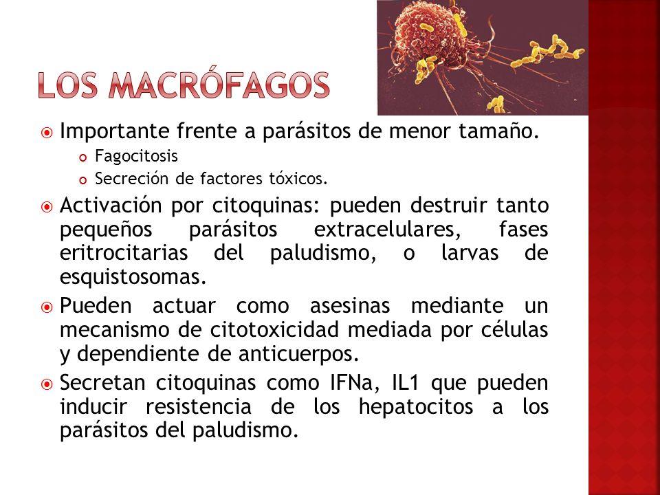 Los macrófagos Importante frente a parásitos de menor tamaño.